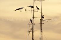 Cigüeñas en antena 2