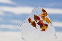 Hojas de azalea en hielo