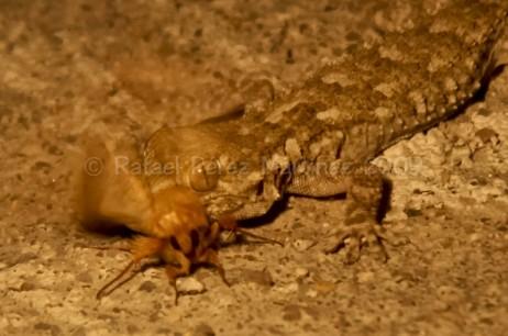 Salamanquesa y mariposa nocturna