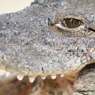 Ojo de cocodrilo