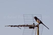 Urraca en antena 1