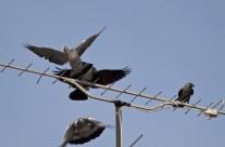 Dos grajillas expulsan a dos palomas torcaces de su antena