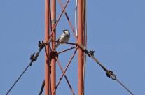 Gorrión en antena