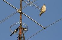Un halcón peregrino y dos urracas