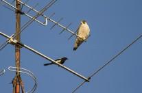 Un halcón peregrino y una urraca