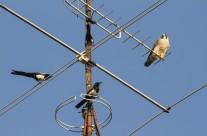 Un halcón peregrino y tres urracas