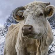 Vaca 6610