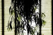 Rama de eucalipto sobre un estanque