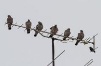 Seis palomas torcaces y un estornino