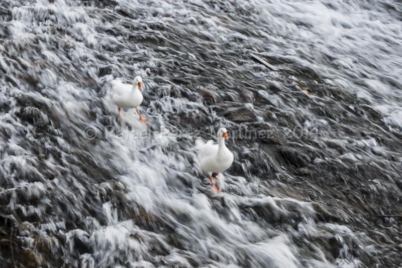 Dos ocas en el río Adaja