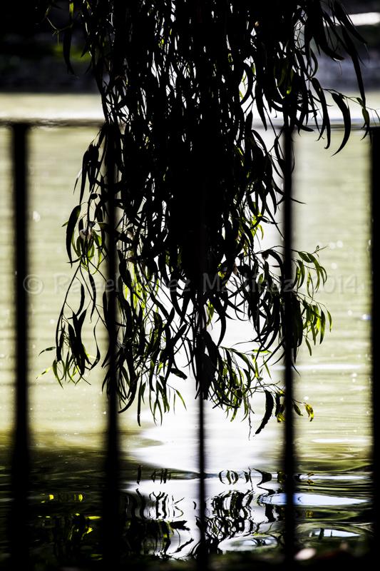 Eucalipto sobre estanque