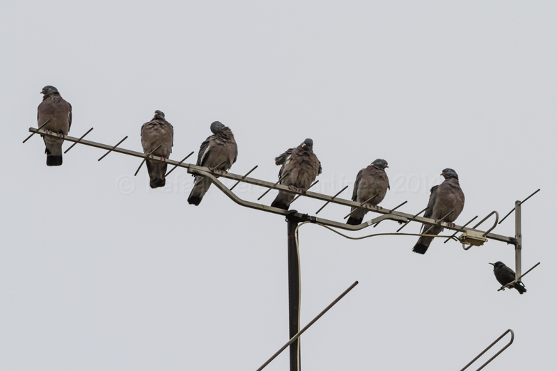 Seis palomas torcaces y un estornino, fotos rafael pérez